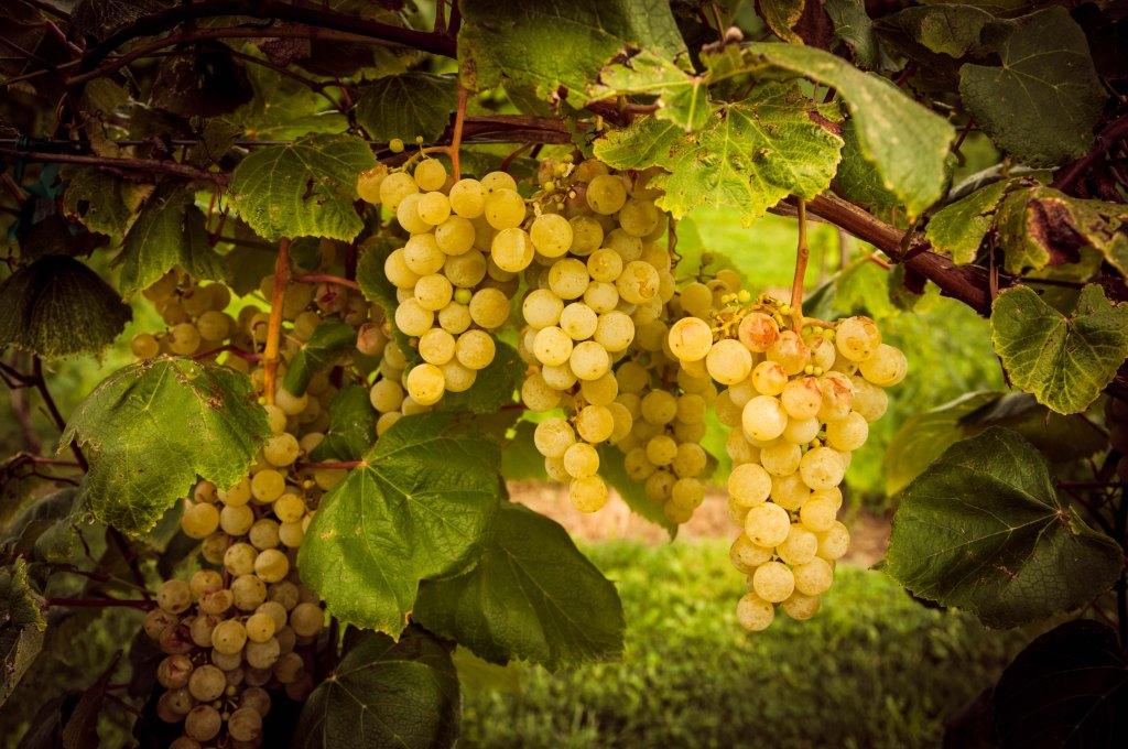 grapes9