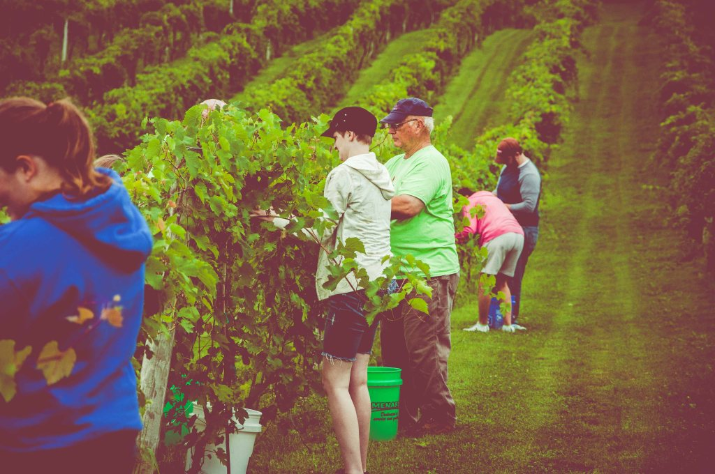 Picking wine grapes Iowa-style!