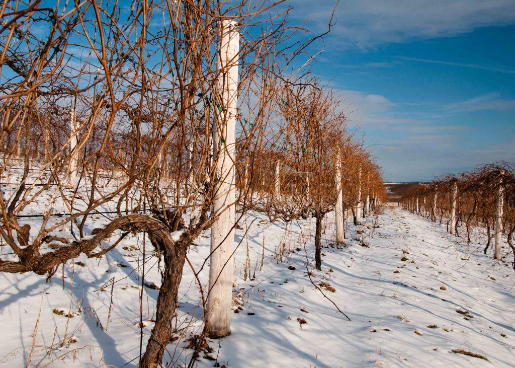 Marquette Vines